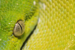 Chondro-Pythonschlange Stockbilder