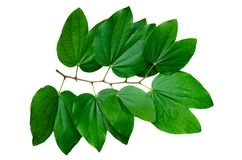 Chongkho leaves Isolate Bouquet decorate the design royalty free stock image