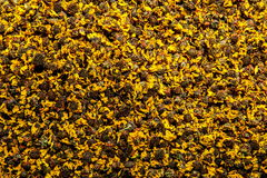 Chongqing Bo herbacianych zdrowie herbaciana Chińska medycyna - Kunlun śniegu stokrotka Zdjęcia Stock