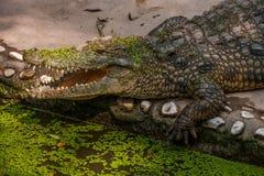 Chongqing crocodile center of the crocodile pool Royalty Free Stock Photo