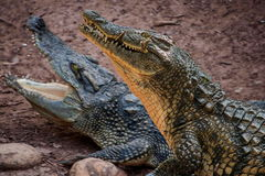 Chongqing crocodile center of the crocodile pool Royalty Free Stock Photography