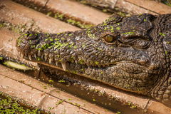 Chongqing crocodile center of the crocodile pool Royalty Free Stock Photos