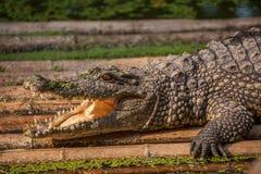 Chongqing crocodile center of the crocodile pool Royalty Free Stock Image
