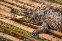 Chongqing crocodile center of the crocodile pool Stock Photography