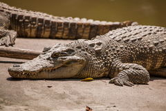 Chongqing crocodile crocodile pool center Stock Images