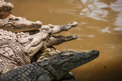 Chongqing crocodile crocodile pool center Royalty Free Stock Image
