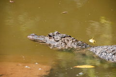 Chongqing crocodile crocodile pool center Royalty Free Stock Photography