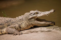 Chongqing crocodile crocodile pool center Royalty Free Stock Photo