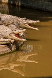 Chongqing crocodile crocodile pool center Royalty Free Stock Photos