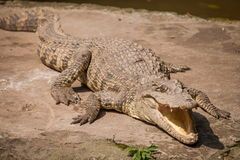 Chongqing crocodile crocodile pool center Stock Photos