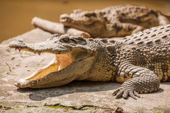 Chongqing crocodile crocodile pool center Stock Photography