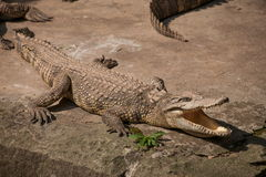 Chongqing crocodile crocodile pool center Royalty Free Stock Images