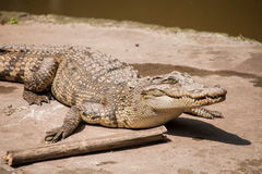 Chongqing-Krokodilkrokodil-Poolmitte Lizenzfreie Stockfotos