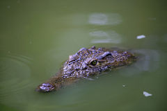 Chongqing Water Crocodile Alligator Center Royalty Free Stock Image