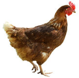 Chook Photos stock