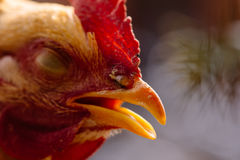 Chook's head Royalty Free Stock Images