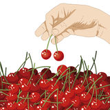 Choose cherries Royalty Free Stock Images