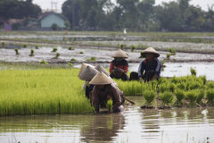 Choose rice seedlings Royalty Free Stock Photography