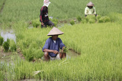 Choose rice seedlings Royalty Free Stock Image