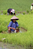 Choose rice seedlings Royalty Free Stock Photo