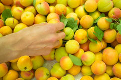 Choosing apricots Stock Photography