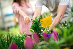 Choosing flowers in greenhouse Stock Images