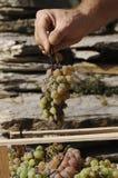 Choosing grape Royalty Free Stock Photo