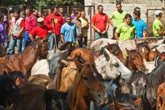 Choosing horses Stock Images