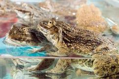 Chop frog food. Stock Image