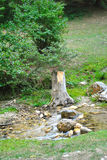 A choped tree. A chopped tree at the side of a mountain river Royalty Free Stock Photos