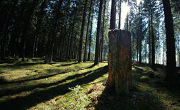 Chopped down tree trunk in conifer forest Royalty Free Stock Image