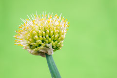 Chopped green onion Royalty Free Stock Images