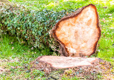 Chopped tree in the forest. Stock Image