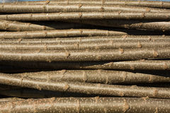 Chopped tree logs. Starck of young poplar trees ready to be transplanted Stock Photos