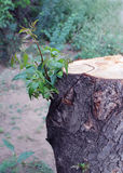 Chopped tree regrowing Royalty Free Stock Images
