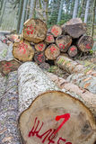 Chopped trees in a forest Royalty Free Stock Photo