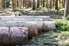 Chopped trees lay in a row. A Huge tree cut down in spring by foresty program in german forest stock images
