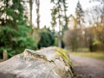 Chopped Trunk in Winter with Fir Trees surrounding. A chopped trunk in a local Park during wintertime with some fir trees surrounding royalty free stock image
