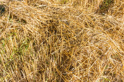 Chopped wheat straw as a texture. Roughly chopped wheat straw as a texture stock images