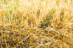 Chopped wheat straw as a texture. Roughly chopped wheat straw as a texture royalty free stock photo
