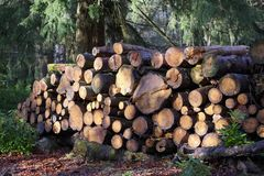 Chopped wood logs for sale in forest for biomass fuel energy stock photo