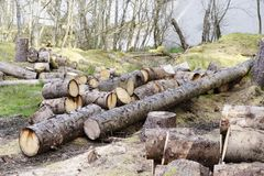 Chopped wood logs for sale use in fire place at home stored on forest woods green biomass energy. Uk royalty free stock images