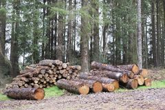 Chopped wood logs for sale use in fire place at home stored on forest woods green biomass energy. Uk stock image