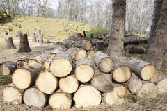 Chopped wood logs for sale use in fire place at home stored on forest woods green biomass energy stock photography