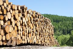 Chopped wood logs stacked in forest woodlands renewable green biomass energy summer sun Loch Lomond blue sky. Uk stock photography