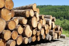 Chopped wood logs stacked in forest woodlands renewable green biomass energy summer sun Loch Lomond blue sky. Uk stock photo