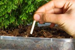 Chopsticks λίπανση ορχιδεών Τα ραβδιά λιπάσματος εισάγονται στο υπόστρωμα για τις ορχιδέες Στοκ Εικόνες