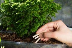 Chopsticks λίπανση ορχιδεών Τα ραβδιά λιπάσματος εισάγονται στο υπόστρωμα για τις ορχιδέες Στοκ φωτογραφία με δικαίωμα ελεύθερης χρήσης