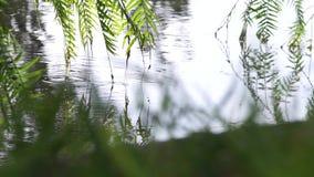 Chorando a árvore do salgueiro os ramos tocam na água um forte vento que funde - a árvore verde sae no fundo claro vídeos de arquivo