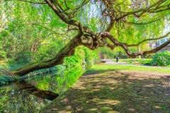 Chorando a caminhada de Willow Leaning Over New River, Londres Fotografia de Stock Royalty Free